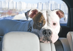Heeft jouw dier last van reisziekte / wagenziekte?