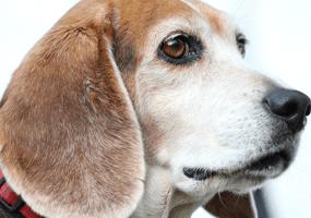 Veel voorkomende aandoeningen bij oudere honden