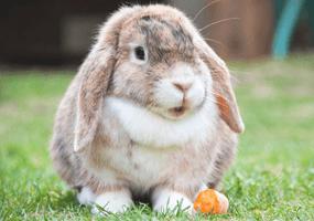 Is jouw konijn te dik?