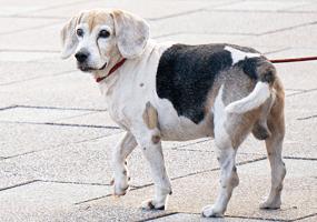Overgewicht bij oudere honden
