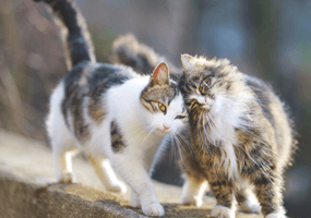 Hoe raakt een kat besmet met wormen?